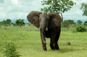 Elefant in Togo