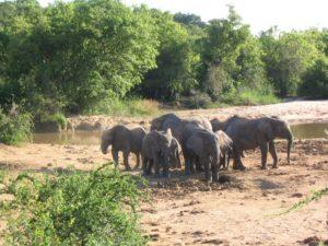 Elefanten, Yankari National Park, Nigeria
