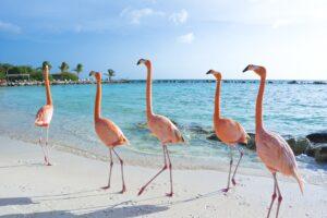 Flamingos am Strand auf Aruba