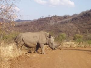 Nashorn Pilanesberg National Park