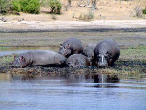 Nilpferde im Chobe River, Botsuana