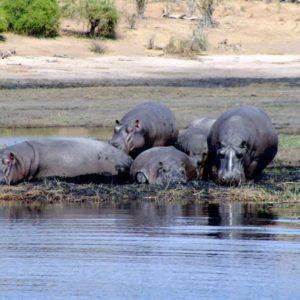 Nilpferde, Chobe River, Botsuana