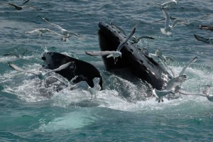 Whale Watching Südafrika